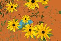 Black Eyed Susans on Gold
