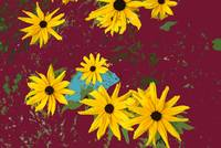 Black Eyed Susans on Burgundy