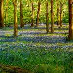 """bluebell Forest"" by deborahokeeffe"