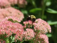 Bee on Sedum 7