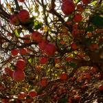 """Apples in Abundance"" by javanslyke"