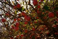 Apples in Abundance