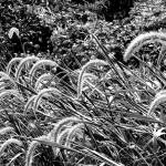"""""""Autumn Grasses"""" by impressionistheart"""