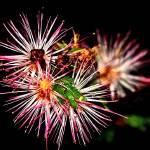 """""""Starburst Bud"""" by Photofilly31"""