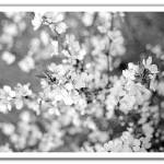 """crab apple blooms in b&w"" by shelleyinmichigan"