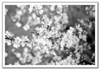 crab apple blooms in b&w