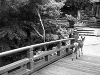 Deer on a Japanese Bridge