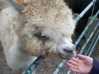Alpaca with Hand