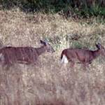 """""""2 does grazing"""" by DAJOPHOTOS"""