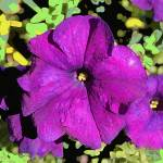 """Pop art petunia"" by Wendy_Ferguson"