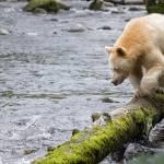 """Spirit Bear"" by cold-coast"