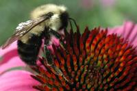 Bumble Bee and Cone Flower - DSC_0530