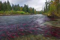 Adams River Sockeye