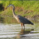"""Great Blue Heron"" by CherylCharette"