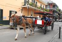 mule or horse drawn carriage in New Orleans