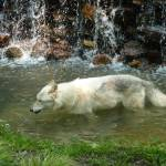 """White wolf walking in stream"" by ShutterbugCentral"