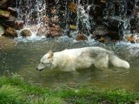 White wolf walking in stream