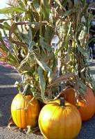 Fall Pumpkins 838