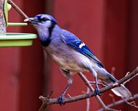 Blue Jay Having Lunch