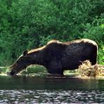 """Moose Snort"" by northernfoto"