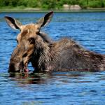 """Water Moose"" by northernfoto"