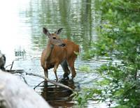 Sunfish Pond Deer