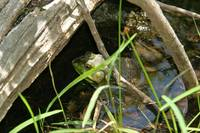 Frog at Sunfish Pond