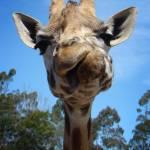 """Giraffe"" by danreedphotography"