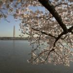 """Cherry Blossom Washington Monument 2"" by jbhaber"