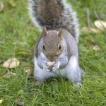 """Grey Squirrel"" by travelpicspro"