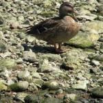 """Just Ducky"" by tgorman6470"