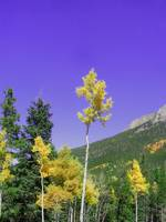 Aspens in Golden
