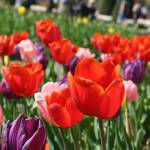 """Tulips at the Keukenhof"" by PeturseyPhotography"