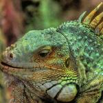 """Green Iguana"" by Paterdimakis"