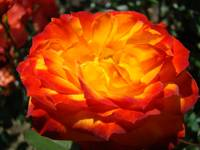 Rose art prints Orange Red Roses Garden