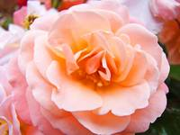 Beautiful Peach Rose Flower Floral art prints