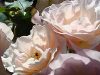Sunlit Pastel Pink Rose Flower Garden art prints