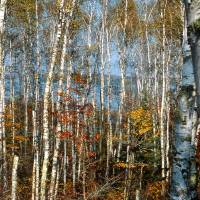 Paper Birch Grove Art Prints & Posters by Ron Marquart