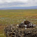 """Ferruginous hawk nestlings, Snake River Birds of P"" by eye4nature"