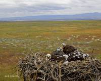 Ferruginous hawk nestlings, Snake River Birds of P
