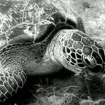 """Green Sea Turtle"" by Thermocline"