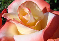 Cinnamon Rose art prints Velvet Roses