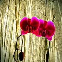 Orchid on a bamboo background