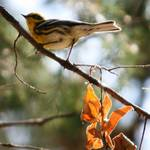 """Warbler"" by photophillic"