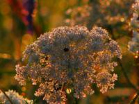 Sunlit Queen Anne's Lace IMG_0674