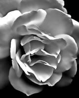 Rose       0381 Black and White Edition