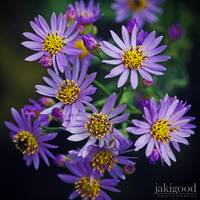 tatarian aster in october