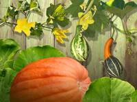 Gourds of Gratitude
