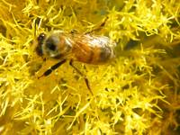 bee yellow