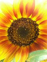 unique sunflower